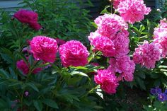 How to Remove Ants From Peonies | Garden Guides