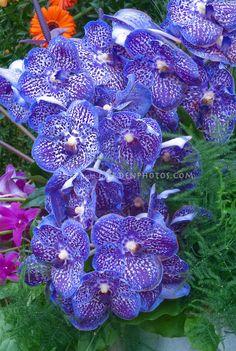 Vanda fleurs d'orchidées bleues