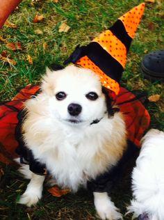 Chihuahua Halloween-Ginger By Wynn Westmoreland