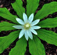 Paris japonica flower