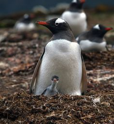"""penguin chick with mom"" by Jim Dewitt Photographer"