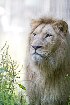 """Lion Proverbs 28:1  """"The wicked run away when no one is chasing them, but the godly are as bold as lions."""""""