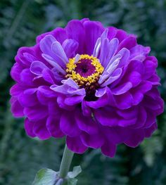 Purple Zinnia
