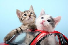 kittens in Heat Stress And Heat Exhaustion In Cats Heat Stress, Cat In Heat, Dog Car, Cat Health, Cat Toys, Crazy Cats, Cats And Kittens, Your Pet, Cute Animals