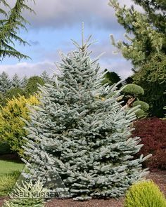 Picea pungens 'Fat Albert' is one of the best shaped blue spruce trees. Blue Spruce Tree, Types Of Christmas Trees, Brick Patterns Patio, Evergreen Vines, Magic Garden, Diy Planters, Trees And Shrubs, Covent Garden, Garden Inspiration