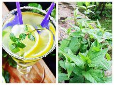 Menta reduce apetitul, relaxează nervii, calmează sistemul nervos, reduce oboseala, stimulează creierul, crește atenția, capacitatea Healthy Drinks, Cocktails, Cooking, Ethnic Recipes, Syrup, Canning, Craft Cocktails, Kitchen, Cocktail