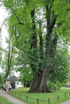 1000 Year Old Linden Tree - Bayern, Bavaria, Germany. Many of my ancestors on my paternal grandmothers side were from here.