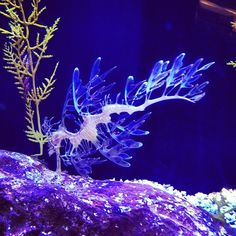 leafy sea dragon via @happymundane • Instagram.  You know, for when I'm rich and have an awesome aquarium...