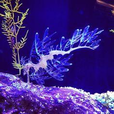 leafy sea dragon via happymundane • Instagram