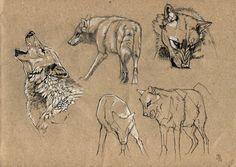 Wolf+study+by+wolf-minori.deviantart.com+on+@DeviantArt