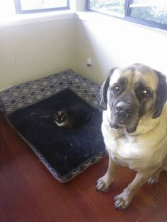 11 Hilarious Photos of Cats Stealing These Poor Dog's Beds | Deveoh!