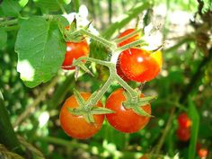 Use cold coffee to water your tomato plants about twice a month..