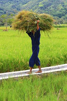 A man working in rice fields in Sumatra, Indonesia.