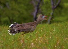 Foto seriema (Cariama cristata) por Bertrando Campos   Wiki Aves - A Enciclopédia das Aves do Brasil