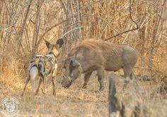 wild-dog-and-warthog