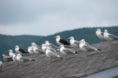 Each year birds such as pigeons, gulls and sparrows cause thousands of dollars worth of damage and clean-up to businesses and homes. Gulls, Sparrows, Pest Control, Surrey, Pigeon, Brighton, Wildlife, Birds, Homes