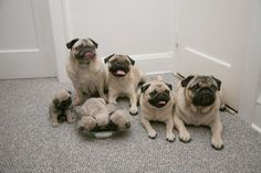 pug family!!