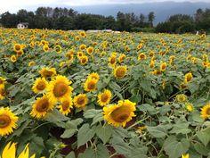 Sunflower farm in Saitama,Japan