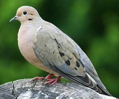 Like an elegy, the mourning dove's sorrowful song evokes a lamentation for the loss of a dearly beloved. Even so, the mourning dove has been widely celebrated for its symbolical value.