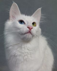 Turkish Angora  Soft silky fur, changes seasonally; short in summer long in winter, eye color is not uncommon...