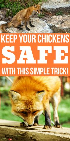 The Number 1 Way to Get Rid of Foxes for Good! Raising Chickens: Are foxes after your chickens, ducks or other poultry? Learn the one trick that got rid of our foxes for good! Chicken Coup, Best Chicken Coop, Chicken Coop Plans, Building A Chicken Coop, Chicken Runs, City Chicken, Chicken Tractors, Small Chicken Coops, Chicken Garden