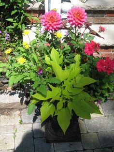 Pink dahlias, pink geranium, sweet potato vine, yellow strawflower