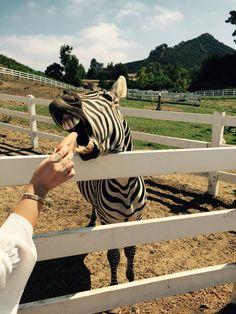 Feeding zebra at Malibu wine safaris pinkyespresso.com