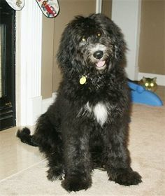 Kizzy, the Bernedoodle puppy at 5 month old (Bernese Mountain Dog / Standard Poodle mix)