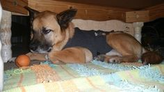 """""""GRRRRR...Enough with the fireworks already...uhhggg."""" Mario...in his """"safe spot"""" under the coffee table, with his favorite ball, wearing his Thundershirt and he is alllllll kinds of pissed off...LMAO"""