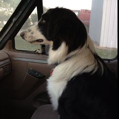 English Shepherd Tucker. All business when we are riding in the truck:)