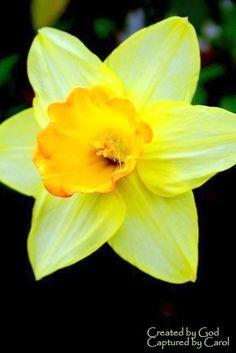 Daffodils! my birthflower