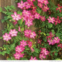 Proper pruning = more clematis flowers! How to do it right. From Garden Gate eNotes.
