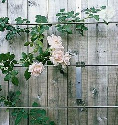 love this modern trellis - no how to at this page - but what if you used thin metal curtain rods and brackets or copper pipe with close fitting brackets to build a diy trellis system Wire Trellis, Garden Trellis, Trellis On Fence, Trellis Ideas, Garden Gate, Garden Bridge, Rose Bush, Climbing Roses, Climbing Rose Trellis