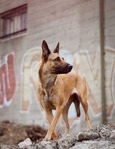 malinois (one of the four belgian shepherd breeds) adult dog Belgian Shepherd, Shepherd Dog, Malinois Shepherd, Pastor Belga Malinois, Belgian Malinois Puppies, Belgium Malinois, Military Dogs, Herding Dogs, Golden Retriever