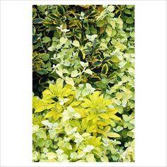 helichrysum petiolare 'limelight' growing through choisya ternata 'sundance' and elaeagnus pungens 'gold rim'
