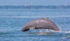 الدلافين الآسيوية أبرز الحيوانات المعرّضة إلى خطر الانقراض: حُدّثت أخيرًا، القائمة الحمراء للآلاف من الأنواع المعرضة إلى خطر الانقراض بسبب…
