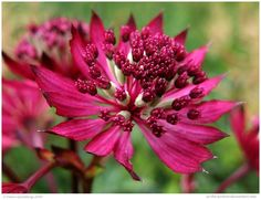 Astrantia Major Ruby Wedding by In-the-picture.deviantart.com on @DeviantArt