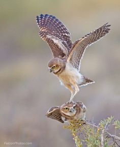 owlday:        Burrowing Owls    (via fuckyeahbirdwings)