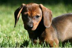 Dachshund Breed Information & Pictures (Wiener Dog/Hotdog, Doxie)