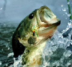 Nice Big Mouth Bass Jumping