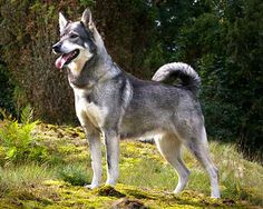 The Jämthund, also called the Swedish Elkhound, is a breed of dog of the Spitz type that are found in Northern Europe. The Jämthund is eponymous to Jämtland, a province in the middle of Sweden. The dog is described as having a wolf-like appearance.