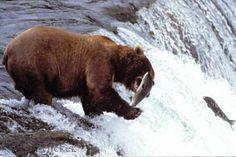 Photo of a alaska brown bear catching a salmon at the Brooks Falls in Katmai National Park in Alaska, USA.