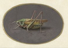 Sprinkhaan, Jan Augustin van der Goes, 1690 - 1700 - Rijksmuseum Zoo 2, Canvas Artwork, Canvas Art Prints, Fine Art Prints, Canvas Frame, Historia Natural, Insect Art, Natural History, Odilon Redon