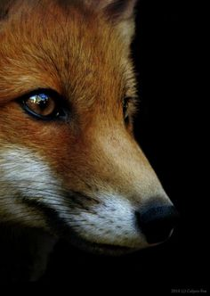 Red fox, taken by Culpeo-Fox on deviant