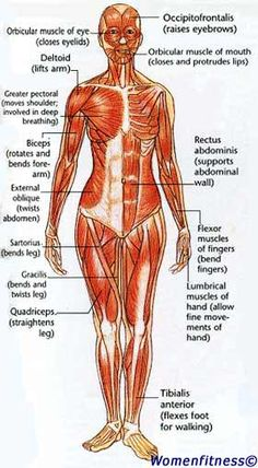 finally, a muscle chart for the woman\u0027s body with major muscle