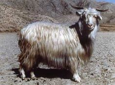 Goat Breeds Around the World Yarn Animals, Animals And Pets, Getter, Sheep Pig, Musk Ox, Textiles, Goat Farming, Horses And Dogs, Zoos