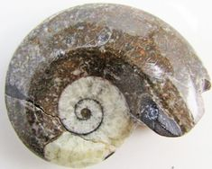 245CTS MOROCAN AMMONITE (Goniatities)   GG1998  morrocan ammonite fossil , fossils