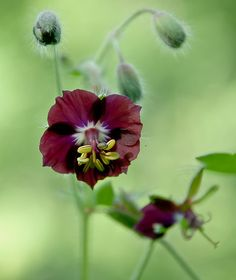 Geranium phaeum - Dusky Cranesbill - 'Samobor', flower detail.