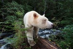 Photo by Paul Nicklen. A rare encounter with a Kermode Bear (aka Spirit Bear) in the Great Bear Rainforest of British Columbia, BC. Black Bear, Brown Bear, Animals Beautiful, Cute Animals, Majestic Animals, Beautiful Stories, He's Beautiful, Beautiful Moments, Spirit Bear