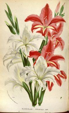 Flore des serres et des jardins de l'Europe - Biodiversity Heritage Library
